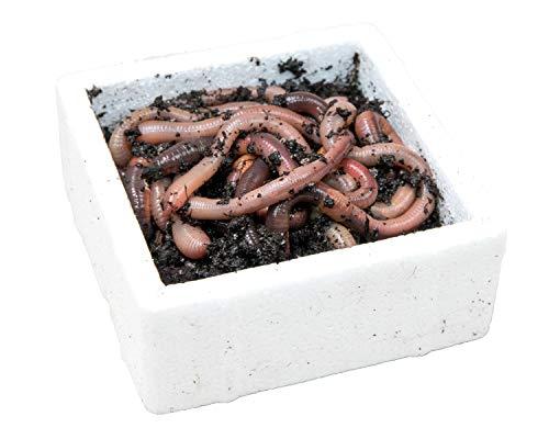 SUPERWURM Kanadische Tauwürmer, Styropordose 10 Stück