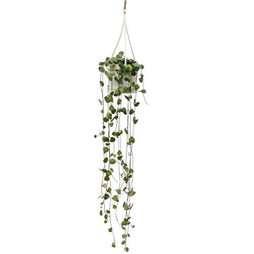 Exotenherz - Zimmerpflanze zum Hängen - Ceropegia woodii - Leuchterblume - 10cm Ampel