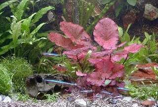 Mühlan - Anti-Algen-Set - 40 schnellwachsende Aquariumpflanzen + 2 Tigerlotus